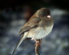 Junco ~ Female (Clyde Barrett) Tags: female newfoundland junco nl nfld clydebarrett