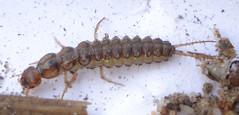 Coleoptera Larva (Mick E. Talbot) Tags: lincolnshire larvae lincolnwildlife coleopteralarva