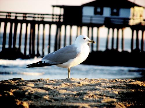 posing seagull