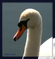 Mute Swan, 07032010,.... 008p (al blunden) Tags: muteswan march2010