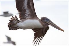 20100103CannonBeachBirds_5015_Flickr (Eric.Vogt) Tags: birds oregon pelican pacificocean oregoncoast cannonbeach brownpelican avian