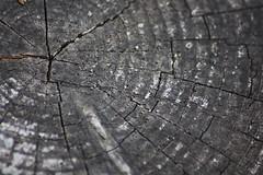 Gone with the wind (Engineer J) Tags: wood old bw macro tree circle cut magic junaid m age lahore gali rashid islamabad nathia uet engr