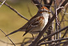 American Tree Sparrow (Rock Steady Images) Tags: ontario canada bird canon 7d handheld americantreesparrow alliston 25views canonef70300mmf456 7pointsystem bypaulchambers topazvivacity rocksteadyimages