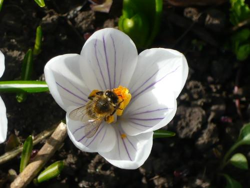 Pollination crocus