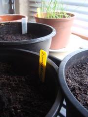 Zaaien in maart Bieslook, bosui, prei, broccoli en zonnebloem. Buiten spinazie, wortel, radijs, rucola en rettich.