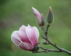 Light Pink, Japanese Magnolia, Tulip Tree Bloom ... 3-18-10 (Moon Shine Photography) Tags: magnolia tulip japanese tree light pink buds limb nature flowers blooms blossoms bokeh sunshine
