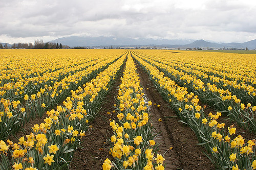 Spring in Skagit Valley