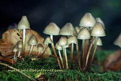 mushroom 8938027361 (mikek666) Tags: mushroom cogumelo seta mantar hongo paddestoel pilz fong fungo bolet onddo μανιτάρι μύκητασ μύκησ