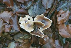 mushroom 8834997 (mikek666) Tags: mushroom cogumelo seta mantar hongo paddestoel pilz fong fungo bolet onddo μανιτάρι μύκητασ μύκησ