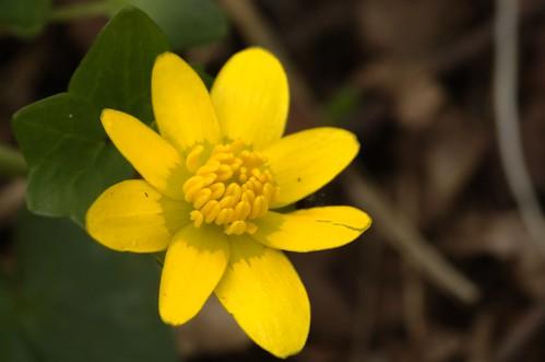 Ficaria verna subsp. verna | Speenkruid - Lesser celandine
