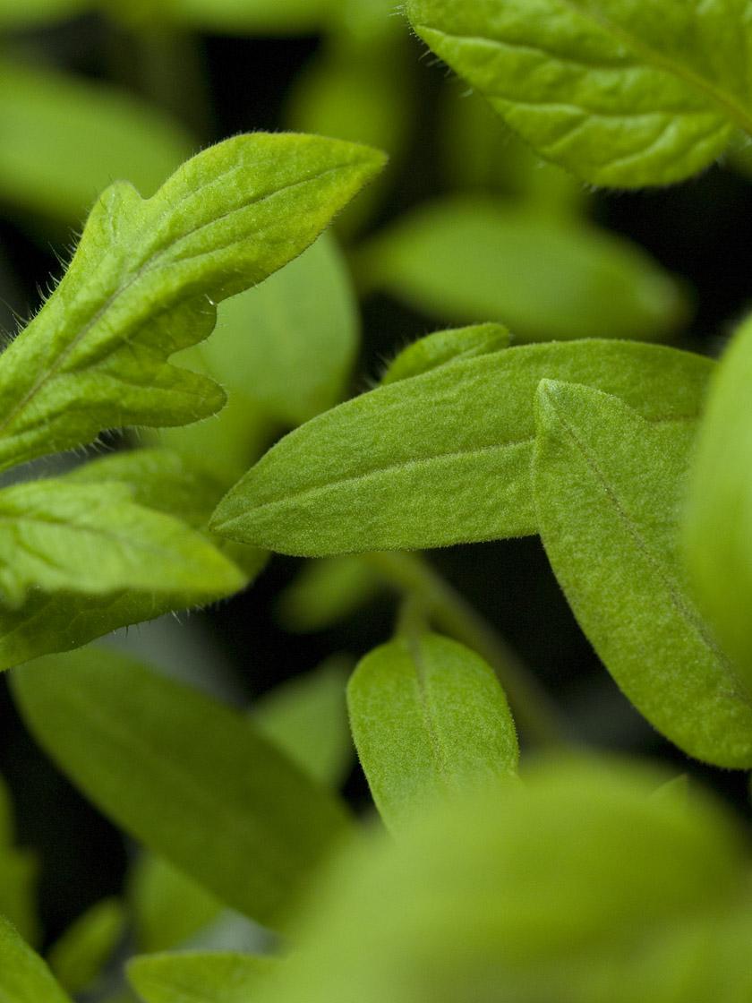 Tomato sprouts 1