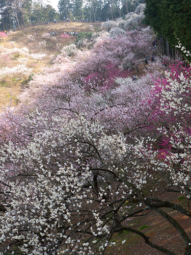 Plum Blossoms Up the Hill