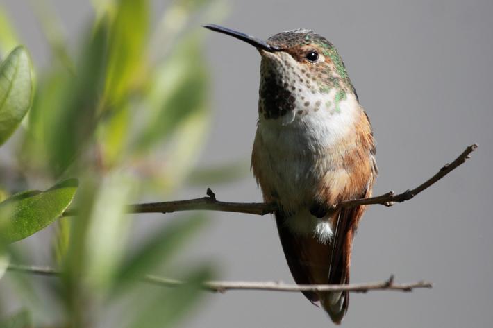 032910_hummingbirdPerched02