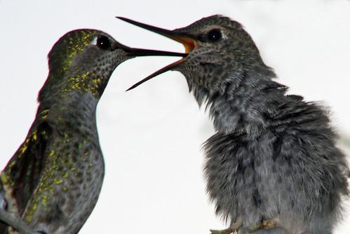 Hummingbird feeding, part 2