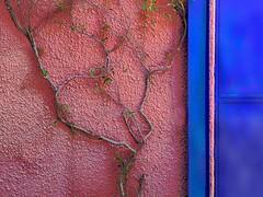 sma wall detail # 89 / clinging to pink (msdonnalee) Tags: door pink muro wall mexico pared puerta porta mexique porte portal mura mur parede bluedoor stucco pinkandblue mauer mexiko bouganvillia pinkwall  bugambilia pinkstucco  mexicanwall photosfromsanmigueldeallende bouganvilliavines fotosdesanmigueldeallende photosbydonnacleveland