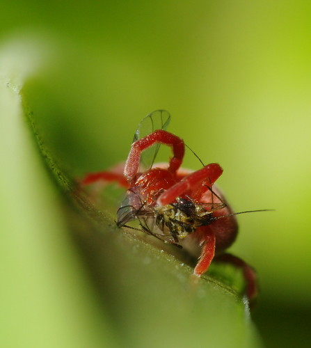 velvet mite eating blackfly head on 2