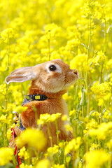 Easter Bunny (Spice  Trying to Catch Up!) Tags: flowers plants pet brown color macro rabbit bunny green art animal yellow japan canon easter geotagged photography eos spring interesting flora kitten asia flickr colours image bokeh wordpress small picture vivid blogger livejournal collections april  kit vox  usagi easterbunny  gettyimages 2010 facebook friendster multiply rapeblossoms      twitter netherlanddwarfrabbit kuneho  canoneos7d twitpic    miniusagi