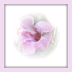 Gentle On My Mind (Mona Hura) Tags: pink plant flower smiling petals lyrics blossom song vine trellis climbing lilac mind frame tropical bloom mandevilla throat ever gentle glencampbell 5907b