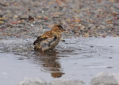 Bathing Sparrow - 0381b (teagden) Tags: water bath sparrow