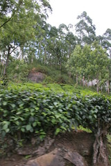 IMG_2354 (y.awanohara) Tags: india green tea kerala plantation teaplantation southindia munnar