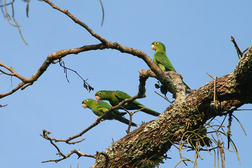 animals birds Brazil sky maritacas papagaios Psittacidae trees Papagaio Maitaca-verde