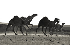 #4, Run run!!! ( ) Tags: africa me north east middle libya   lybia libyan  libia