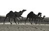 #4, Run run!!! (منصور الصغير) Tags: africa me north east middle libya الله ام lybia libyan محمد libia على منصور ليبيا خلف الصغير الحاج المصور عبدالحميد الأسود الجمل غدير البقر وادى أعلام علياء قبو قرعة قارة الليبى اليبي الهاروج السبعة شليمة الجدارى غديرالسبعة المشقق الدحى القور وقارة الهيفوف وبوالحيضان الفوتغرافى