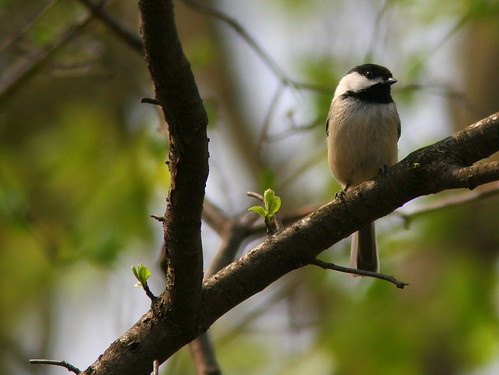Black-capped Chickadee 20100412