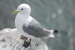 Kittiwake (dave millers photos) Tags: birds islands coast northumberland british farne kittiwake