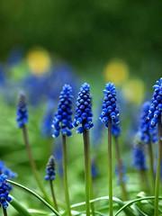 Muscari  DOF14th April (saxonfenken) Tags: blue flower garden dof superhero muscari grapehyacinth april14th bigmomma 397 gamewinner a3b friendlychallenge thechallengefactory challengefactoryunam yourock2ndplace pregamewinner