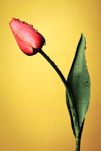 Flora flower [Image Free], flower flower, tulips, water droplets, drops, red, 201004190700