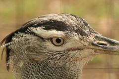 "Kori Bustard eye close • <a style=""font-size:0.8em;"" href=""http://www.flickr.com/photos/30765416@N06/4528600425/"" target=""_blank"">View on Flickr</a>"