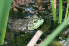 "Frog in water • <a style=""font-size:0.8em;"" href=""http://www.flickr.com/photos/30765416@N06/4529220774/"" target=""_blank"">View on Flickr</a>"