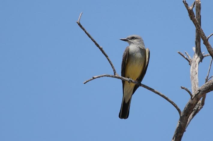 041610_WesternKingbird