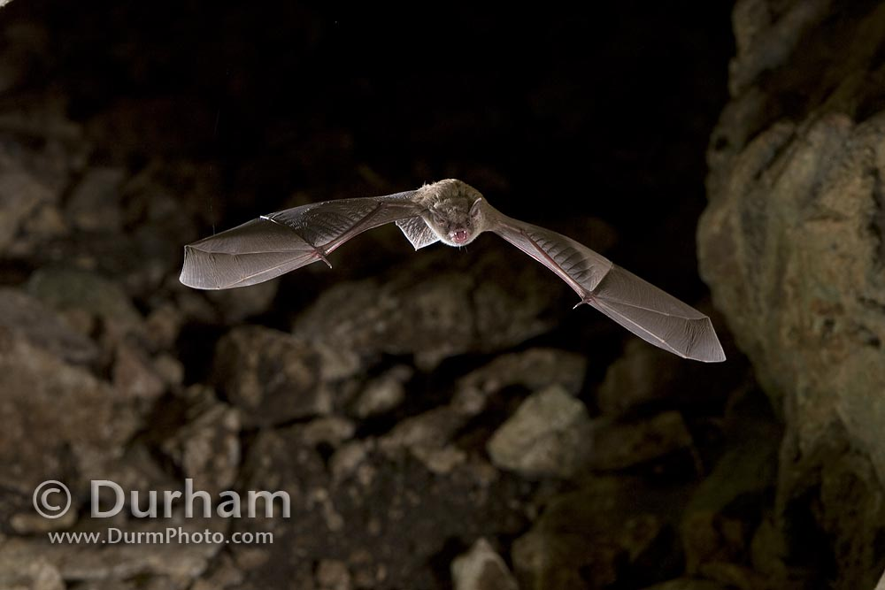 mexican brown bat