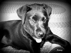Shiva..... (CrazyFrogLady) Tags: family dog pet kevin son member shiva