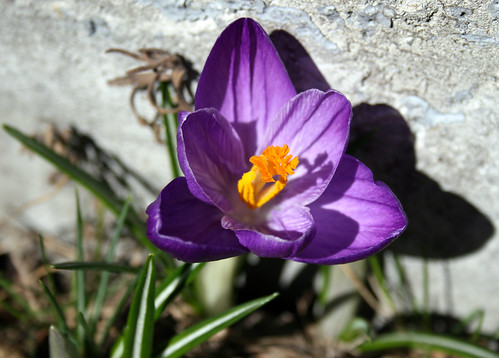 First crocus to bloom in my garden this year
