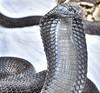 Ophidiophobia (Fil.ippo) Tags: cobra snake filippo serpente naja ophidiophobia abigfave d5000 impressedbeauty ofidiofobia