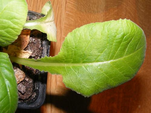 Cowslip Leaf