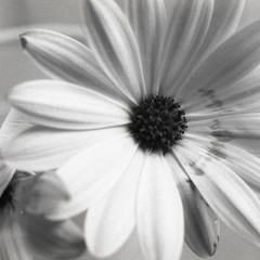 sfumature di luce (gilberto.gini) Tags: blackandwhite film canon bn fotografia fiori luce biancoenero pellicola analogico fomapan gilbertogini