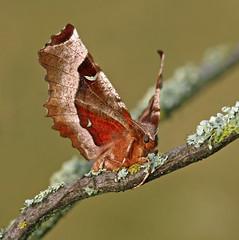 Garden mothing 2010 #7, 28 April (nutmeg66) Tags: garden moth geometridae ennominae april 1919 2010 seleniatetralunaria purplethorn mothtrap