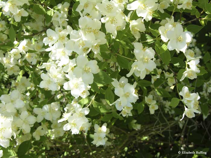 Mock orange in bloom