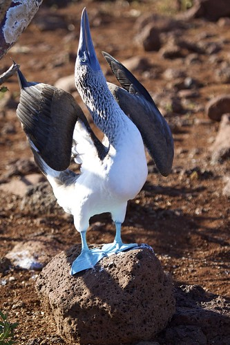 Blue Footed Booby (Sula nebouxii) Strikes A Pose