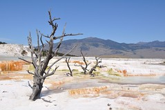 24 Mammouth Hot Springs 079 (Mark Baker, photoboxgallery.com/markbaker) Tags: park usa hot tree america landscape dead photo baker view mark united terraces september national photograph pools springs colored yellowstone states wyoming ponds coloured 2009 mammouth picsmark