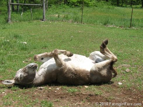 Donkey Rolls 4