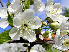 Cherry blossom (September Songs) Tags: flowers macro spring cherryblossom kwiaty wiosna kwiatwini