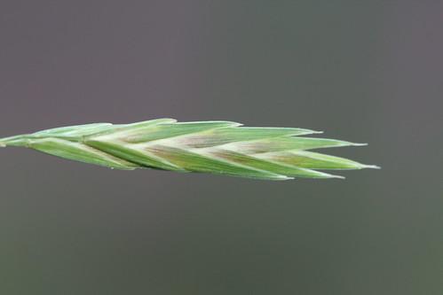 Bromus catharticus (Prairie Grass) - naturalised