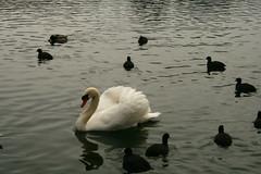 CISNE EN EL LAGO DE BLED -ESLOVENIA- (alvarofontaneda) Tags: lago bled eslovenia lagodebled