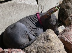 moment of peace (revival74) Tags: dogs hairless peruvian