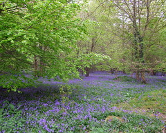 Carpet of Blue in the Forest of Bere (gypsie2 ~ On/Off) Tags: nature bluebells spring ngc 2010 forestofbere s100fs